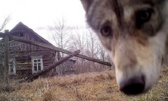 Стало відомо, як тваринам вдається виживати в чорнобильській зоні відчуження