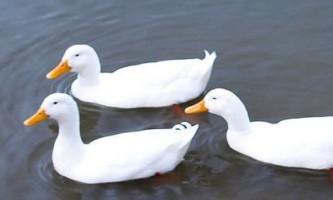 Стар 53 - одна з кращих порід качок для домашнього розведення