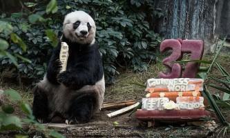 Найстарша в світі панда відсвяткувала 37-й день народження