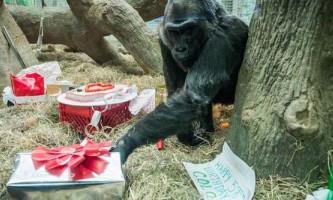 Старійшина серед горил коло відзначила 58-й день народження онлайн