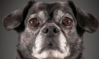 Старіючі собаки в фотопроекті старий вірний (old faithful)
