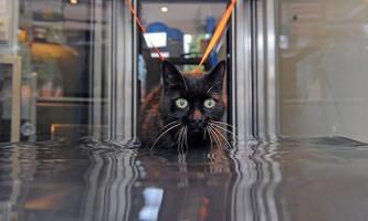 Старіючу кішку, хвору артритом, лікують за допомогою гідротерапії