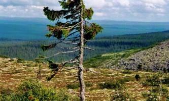 «Старий тікко» - найстаріше 9550-річне дерево в світі