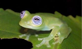 Скляна жаба. Фото прозорою красуні