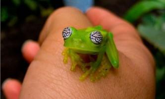 Скляні жаби (лат. Centrolenidae)