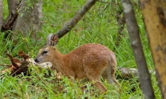 Стенбок шарпа - африканська антилопа