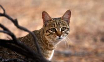 Степова кішка - дика африканська красуня