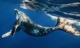 Стенфордським вченим вдалося закріпити камеру на спині кита