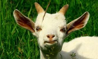 Чи варто заводити козу? Лікнеп по козівництва