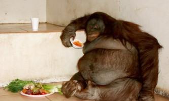 Стокілограмову орангутана посадили на дієту