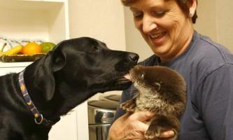 Дивна дружба видри і собаки