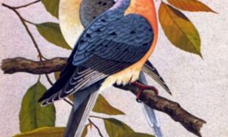 Мандрівний голуб - птах, стерта з лиця землі
