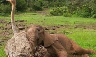 Страус став кращим другом осиротевшему слоненяті