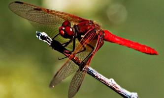 Бабка - комаха з «реактивними» здібностями