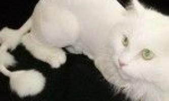 Стрижка кішок: за і проти