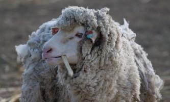 Стрижка овець: коли і як стригти овець?