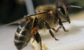Будова і розвиток робочих бджіл, їх якості та вміння