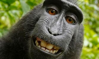 Суд відмовив мавпі в авторське право на селфі