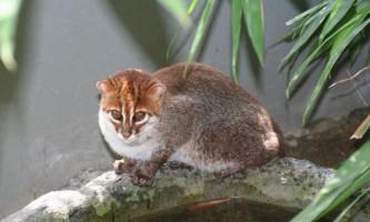 Суматранський кіт: фото, опис тварини