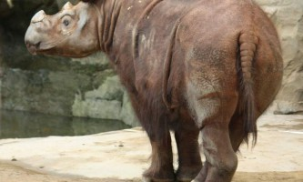 Суматранскіе носороги: тварини-одинаки