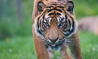Суматранскіе тигри загнали на дерево п`ятьох чоловіків і вбили їхнього товариша