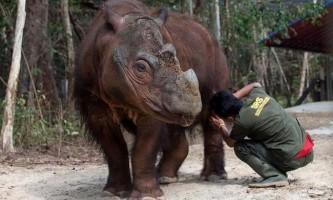 Суматранський носоріг в зоопарку цинциннаті