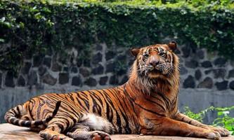 Суматранський тигр - смугастий ендемік острова суматра