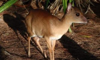 Суні - маленька антилопа