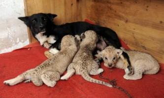 Сурогатна мама в тваринному світі