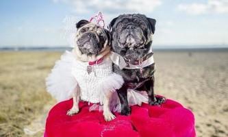 Весільна сукня для собаки обійшлося господарям в 1,6 тисячі доларів