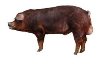 Свині дюрок | порода свиней дюрок
