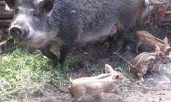 Свині породи мангал: годування, утримання, розведення