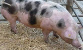 Свині породи пьетрен (петрен): продуктивність, годівля, утримання і розведення