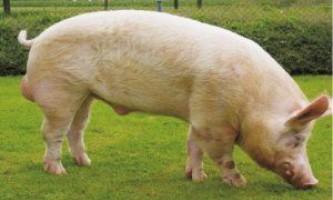 Свиня велика біла - родоначальниця всіх порід