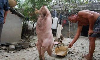 Свиня, сильна духом