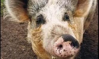 Свиня, яка страждає метеоризмом, стала причиною пп