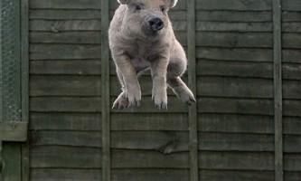 Свинка на батуті