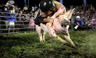 Свиняче родео в японії