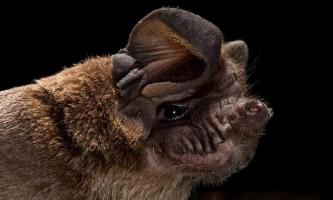 Свіноносие кажани - особливості життя і поведінки нічних рукокрилих