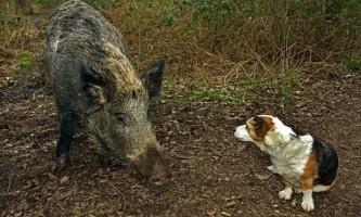 Люті кабани, що бродять в forest of dean `` перетворюються `` в ручних свинок