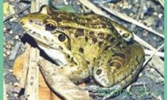 Свістунглазчатий / leptodactylus ocellatus