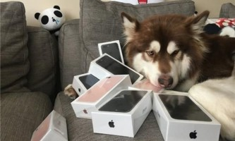 Син найбагатшого китайця купив для своєї собаки вісім айфонів. Фото.