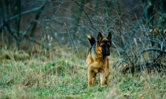 Ситі собаки знаходять їжу швидше
