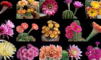 Таймлапс: цвітіння кактусів