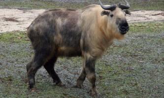 Такін - що ми знаємо про цю тварину?