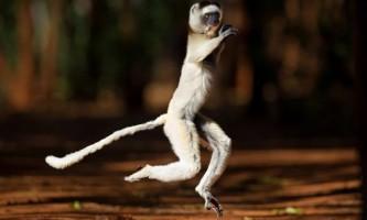 Танцюючі лемури