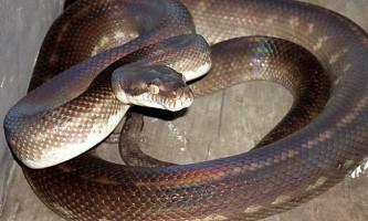 Танімбарскій пітон - деревна змія