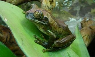 Танзанійська древесница - велика африканська жаба
