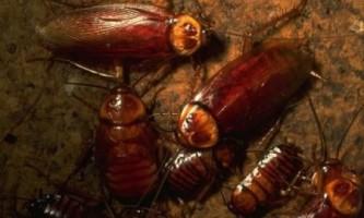 Тараканов-розвідників навчать шукати джерела радіації