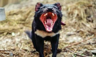 Тасманійські дияволи дуже швидко еволюціонують